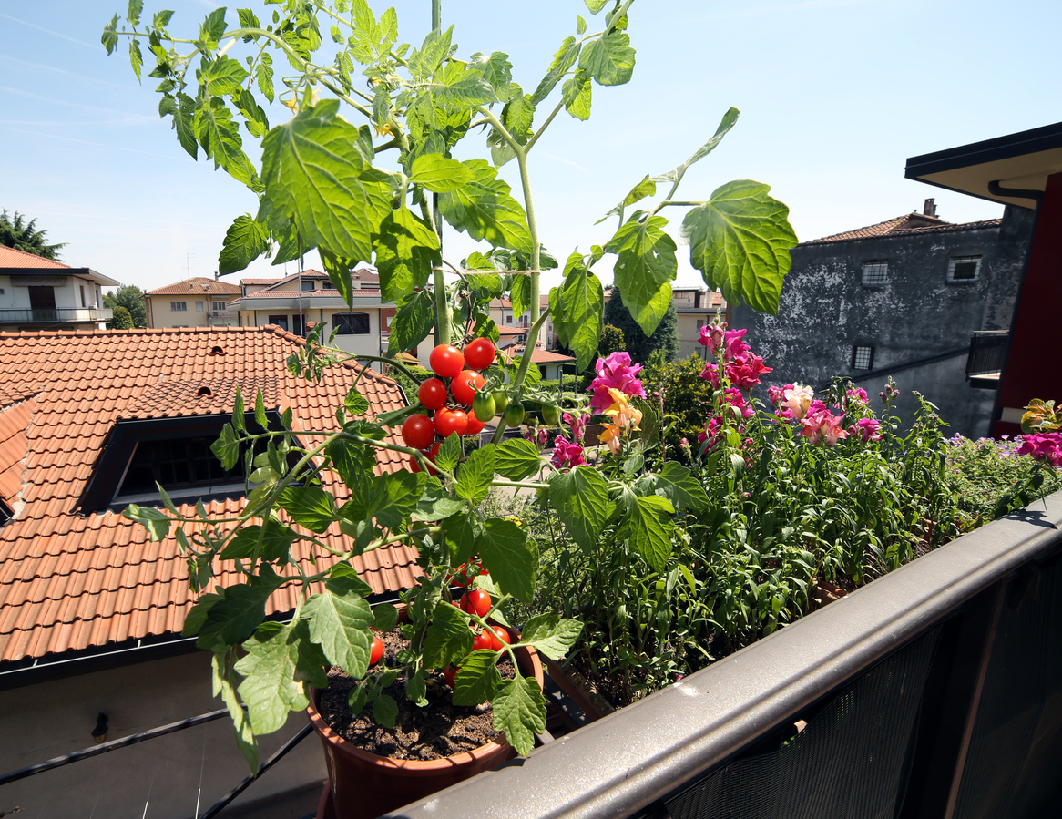 red tomato plant in the balcony