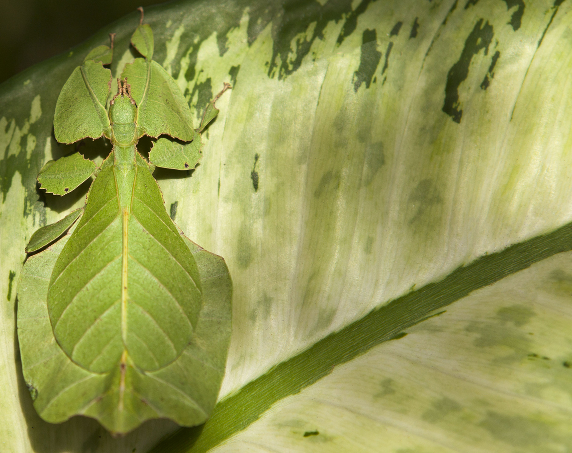 Photo of Phyllium giganteum or giant leaf bug on leaf