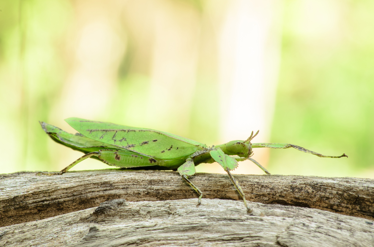 Phyllium giganteum, leaf insect walking leave