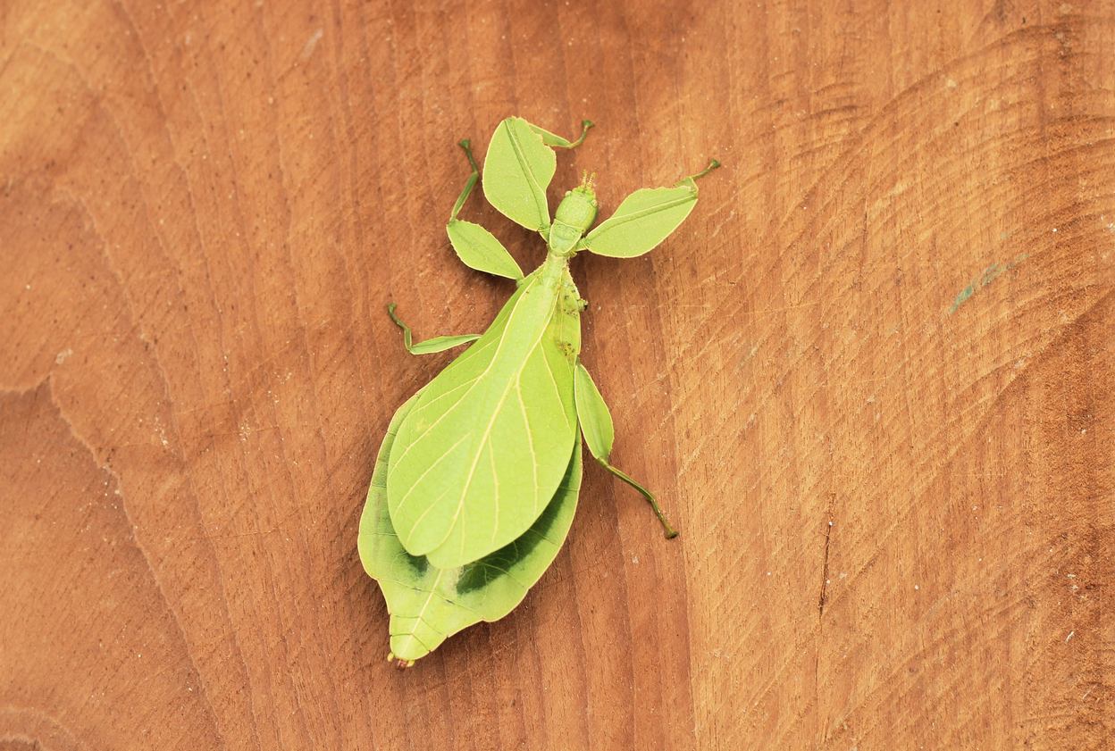 Leaf Insect.