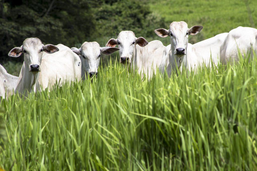 gado metano