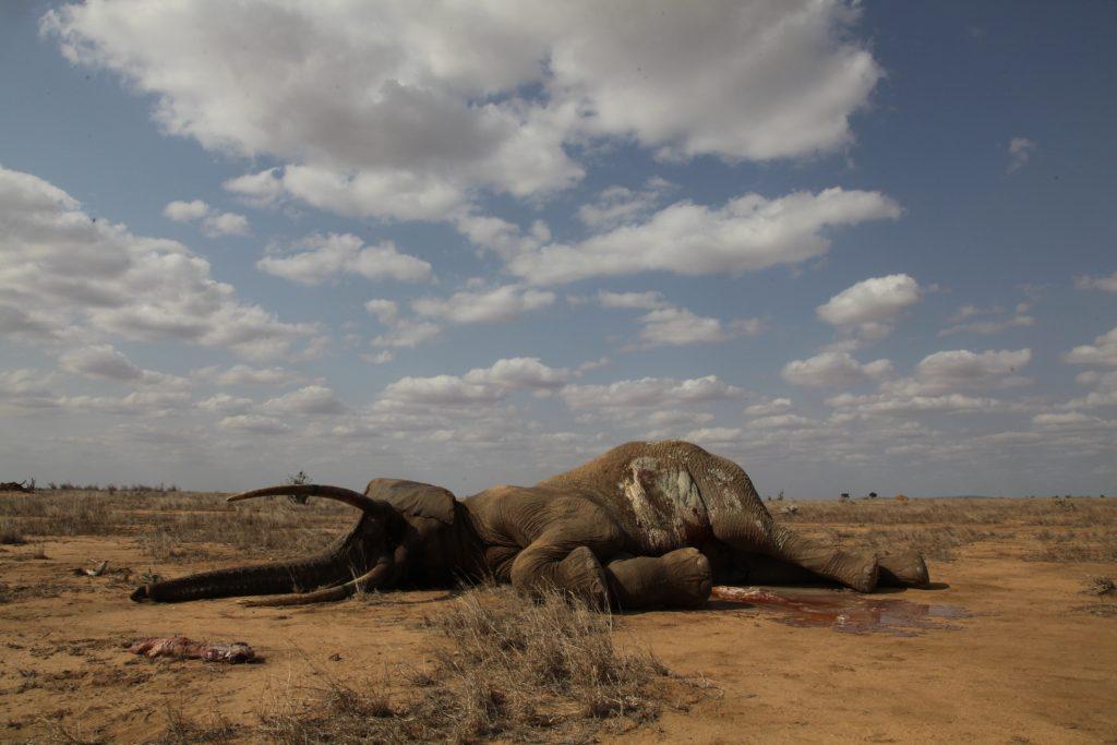 Elefante morto pela caça na África