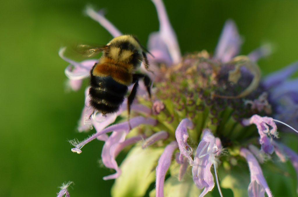 abelha da espécie Bombus affinis em uma flor