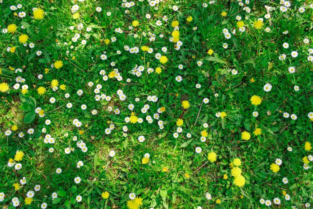 Gramado com flores silvestres