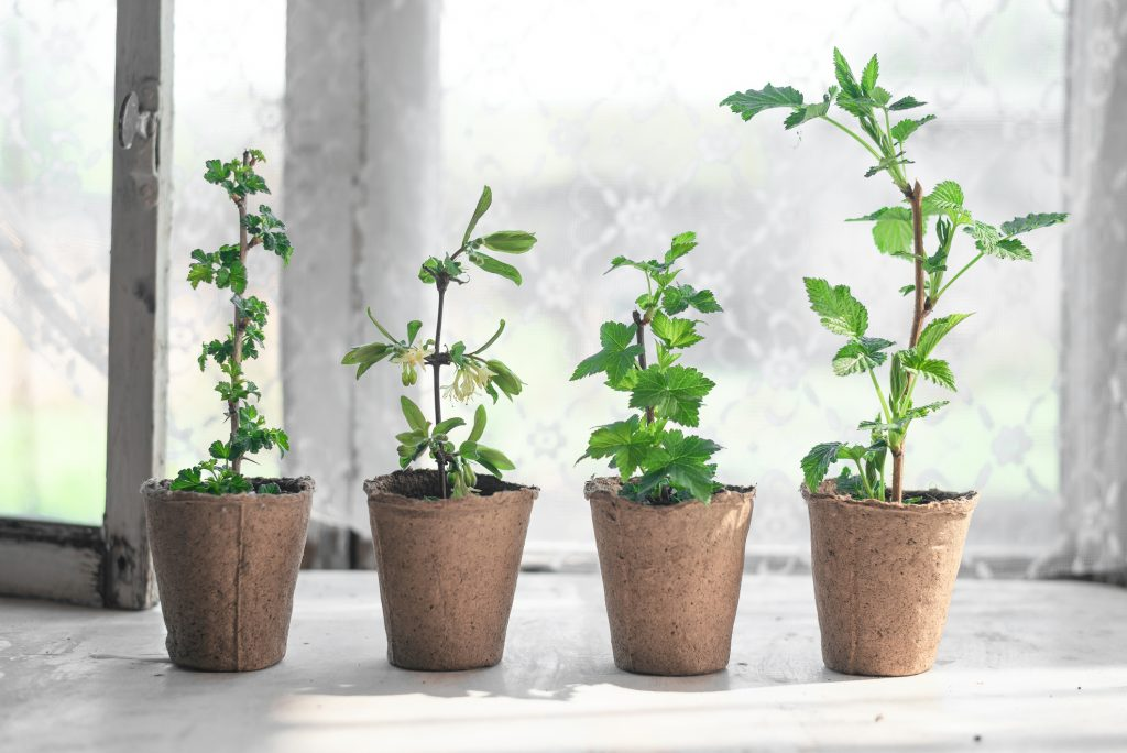 planta semente