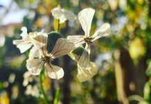flor comestivel