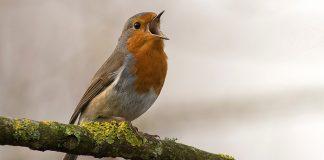 pássaros sem gaiola