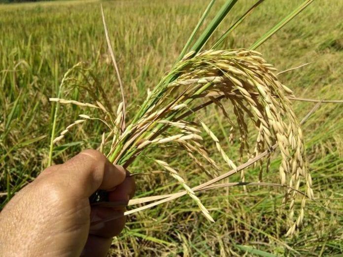 agroecologia arroz