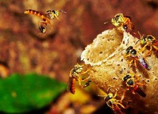 embrapa abelhas
