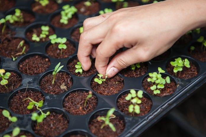 embrapa sementes mudas