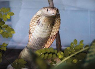 comércio de serpente