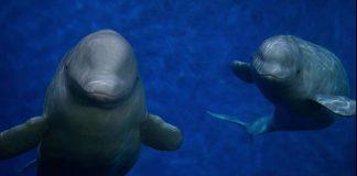 baleias beluga santuário
