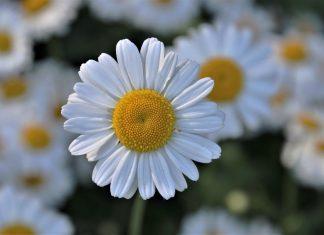 flores fáceis de cultivar