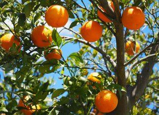 controle biológico plantações laranja
