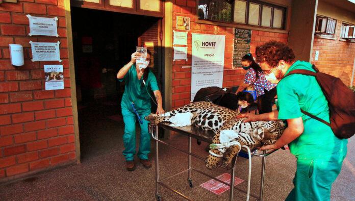 campanha animais pantanal incêndio