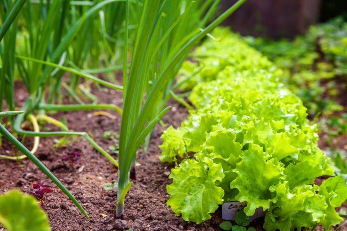 produção de hortaliças