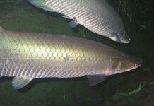 conservação amazônia aquática