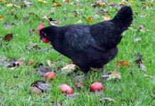 galinhas pesticidas