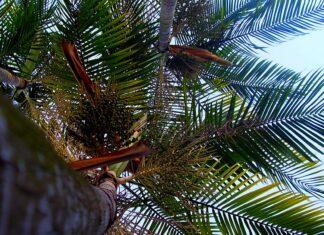 palmeira açaí
