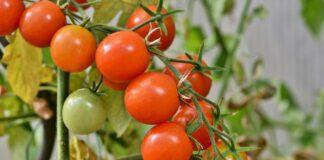 fungo agricultura controle biológico