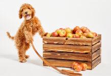 coleiras de maçã