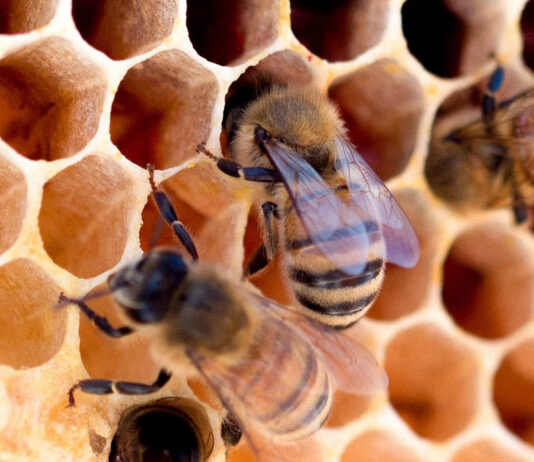 abelhas mel branco