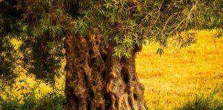 adoção oliveiras espanha