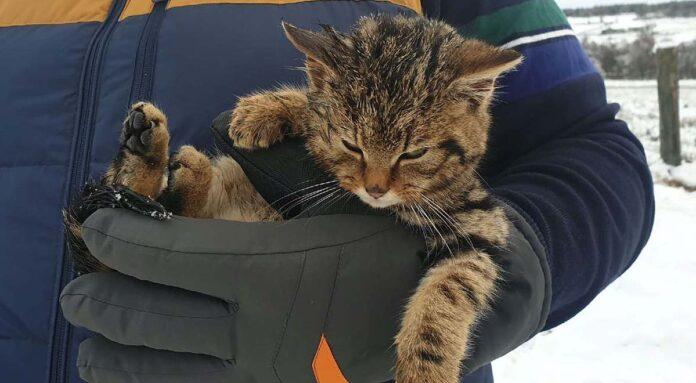 gatinho felino em extinção