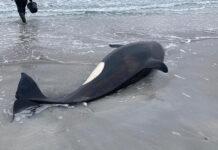 resgate orca encalhada