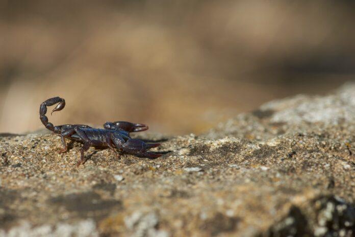 escorpião picadas