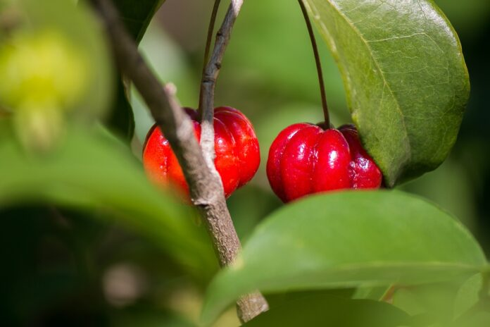jardim comestível pitangueira