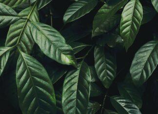 folhas café