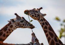girafas fêmeas amizade