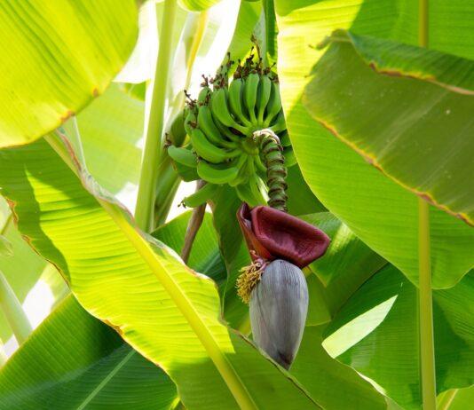 uso integral banana