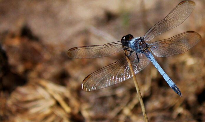 libélula inseto