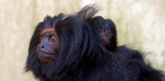 mico-leão-preto