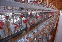 União Europeia aprova fim da criação industrial de animais em gaiolas até 2027