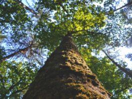 TNC plantar árvores