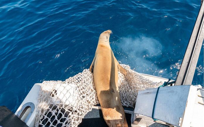 foca caranguejeira reabilitada