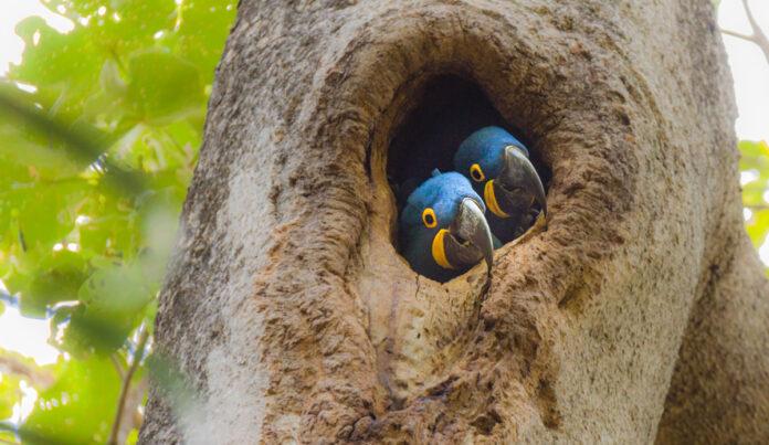 restauração ecossistemas arara azul