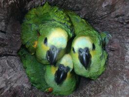 papagaios ninhos